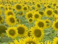 Galerie Sonnenblumenhorizont.jpg anzeigen.