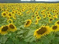 Galerie Sonnenblumen.JPG anzeigen.
