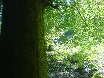 Galerie bemooster Baum im Teuteoburger Wald.JPG anzeigen.